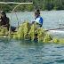 DKP Kembangkan Potensi Budidaya Rumput Laut
