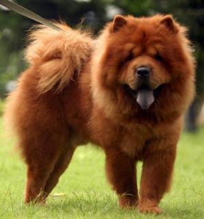 razas de perros medianos chow chow