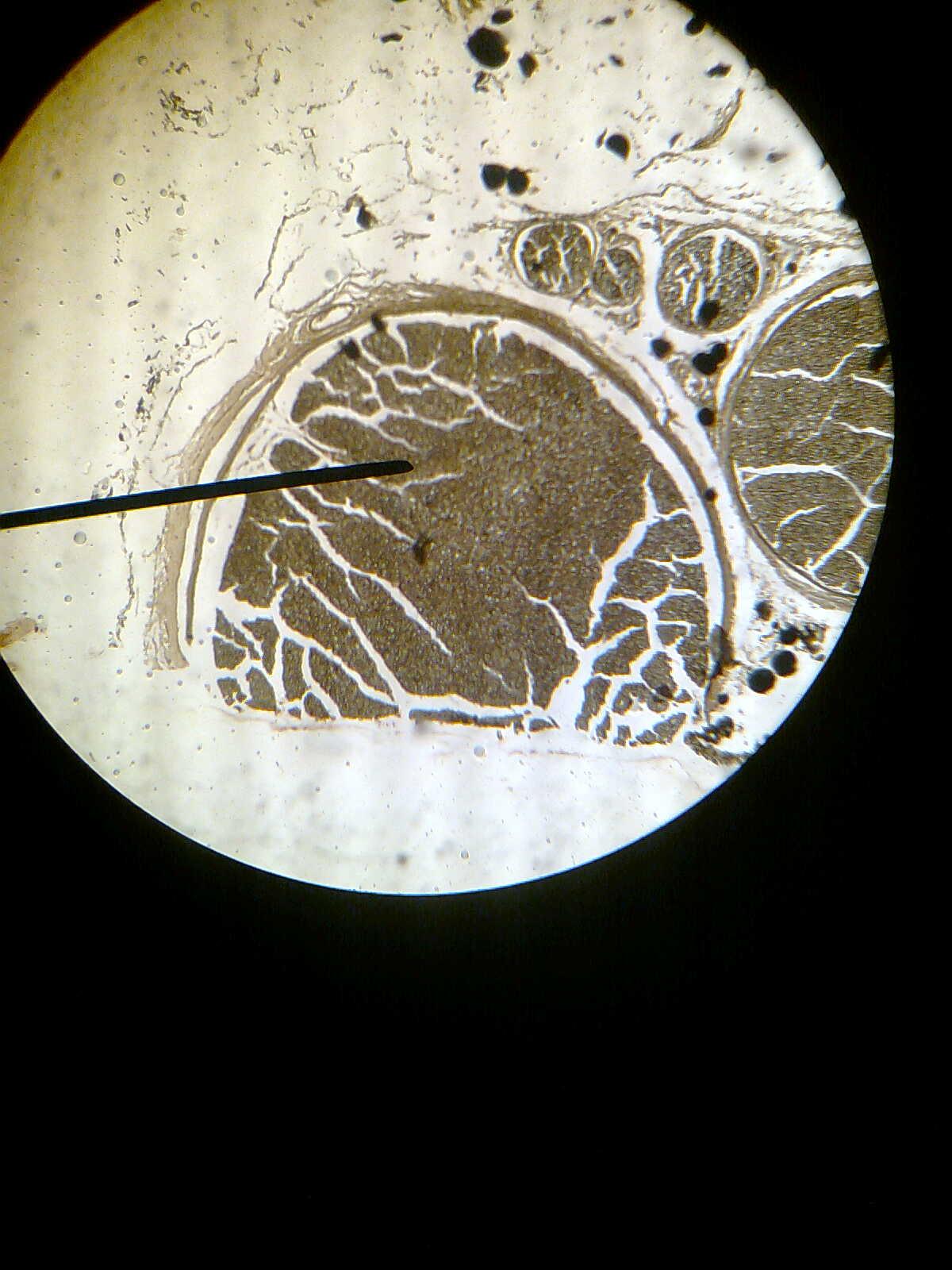 Je suis alia aqilah, et vous? =): Histology slide - E.M