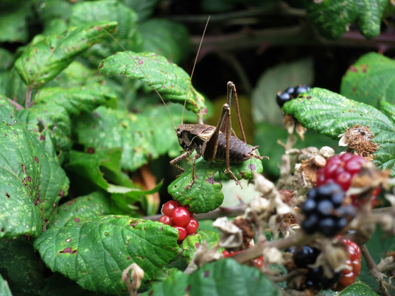 Dark Bush Cricket sitting on a bramble