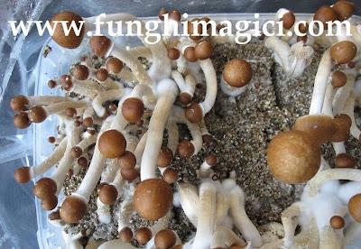 Coltivare funghi allucinogeni