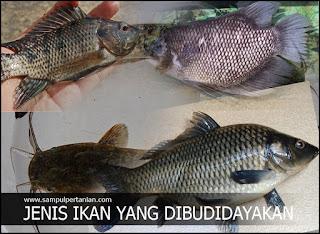 7 Jenis ikan Konsumsi yang sering dibudidayakan di Indonesia