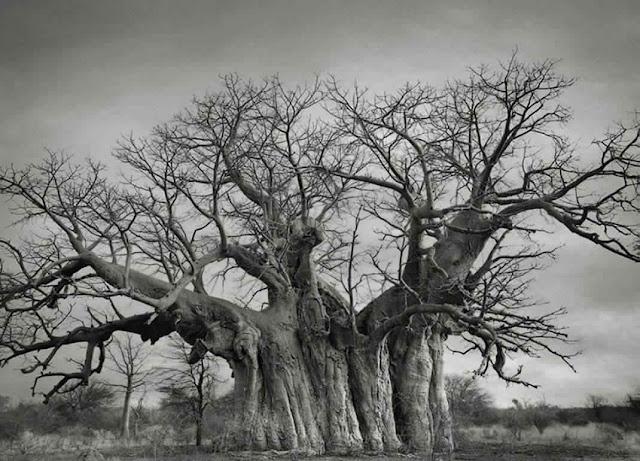 صور أقدم الأشجار