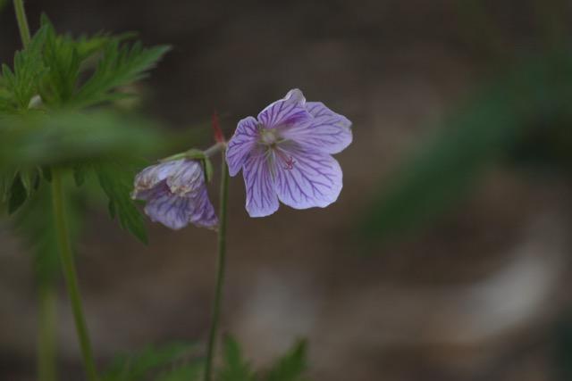 geranium vivace veiné mauve