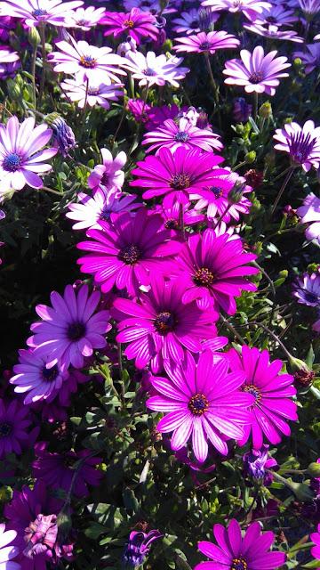 fleurs, jardin, violet, bullelodie