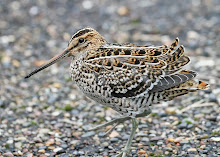 Great Snipe, Spurn Point