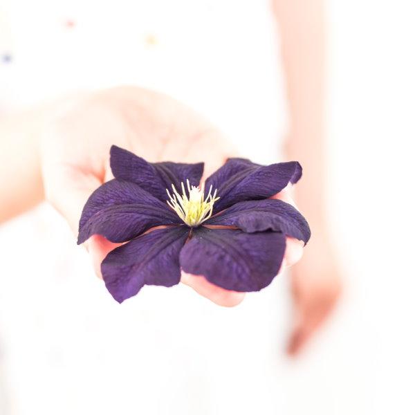 violette Hortensie aus dem eigenen Garten