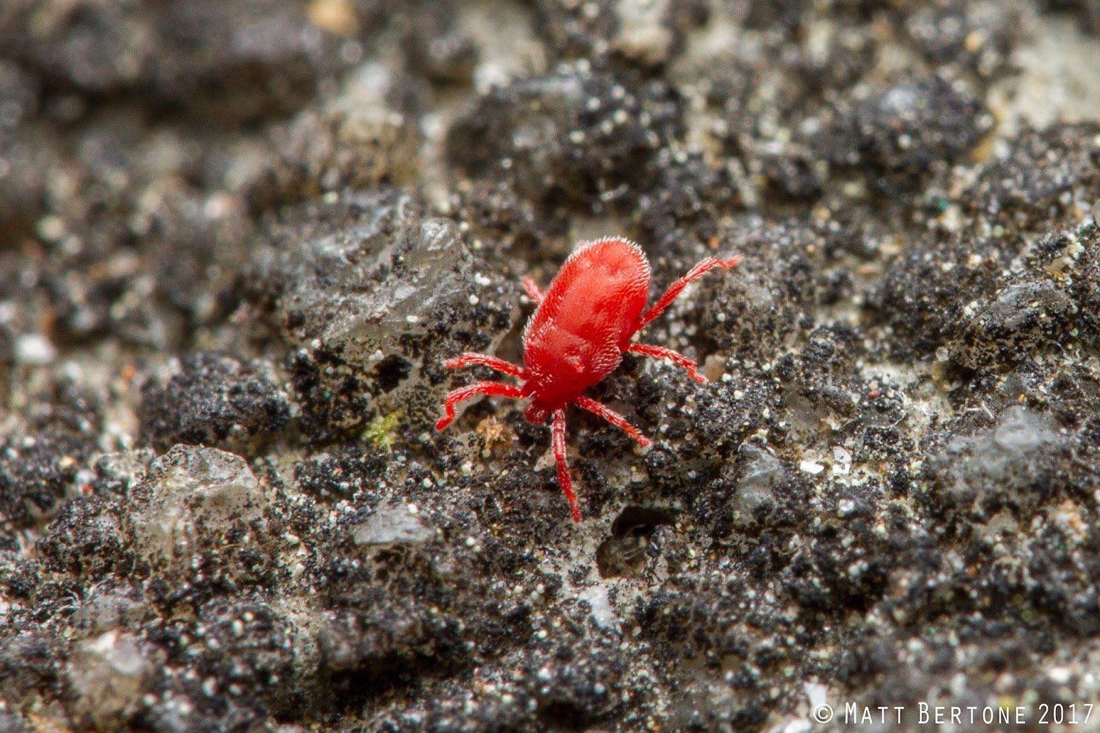 Concrete mites are smaller than velvet mites but larger than clover mites   They are often abundant on concrete  hence the name  where they scavenges  food. NCSU PDIC