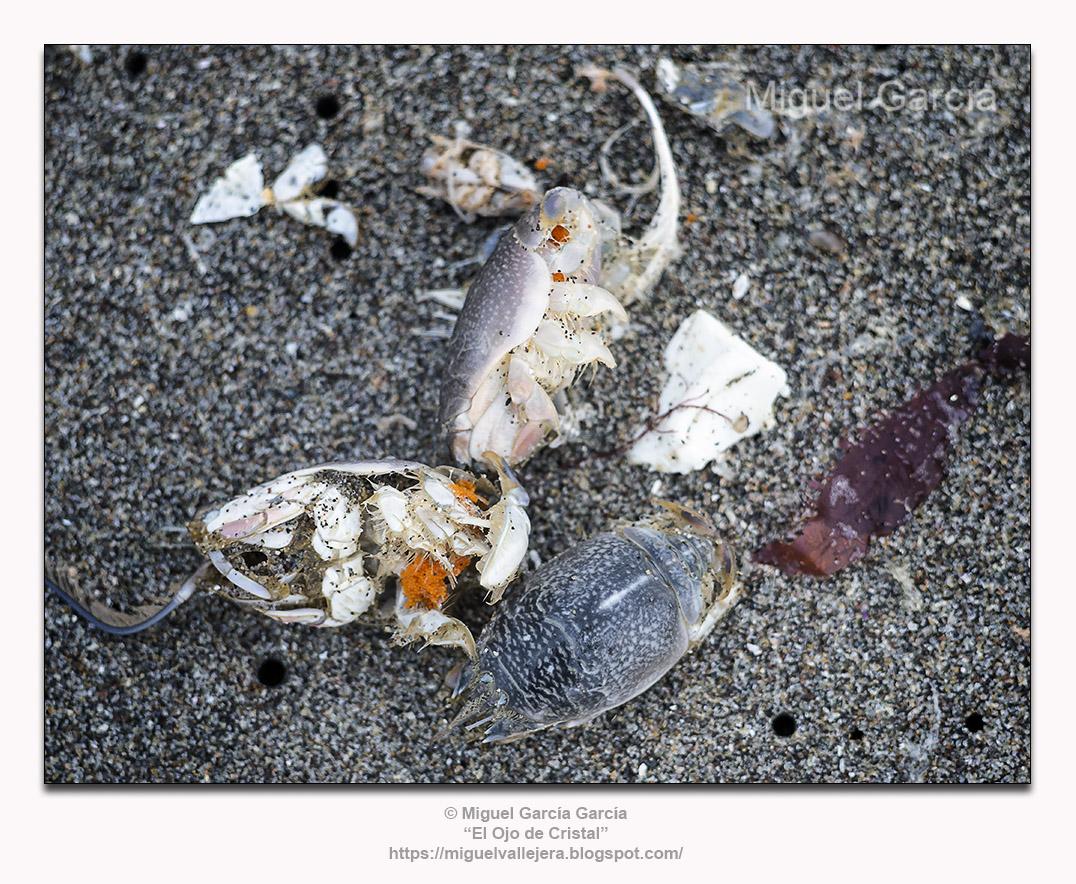Muy Muy (Emerita analoga). Ejemplares muertos sobre la arena.