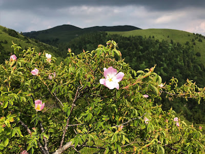 [Rosaceae] Rosa pendulina – Alpine Rose (Rosa alpina).
