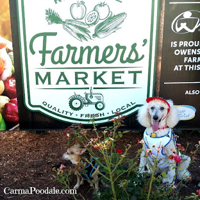 Carma Poodale #standardPoodle and Scooby Doo #Chihuahua in front of #Owensboro Farmers' Market Sign