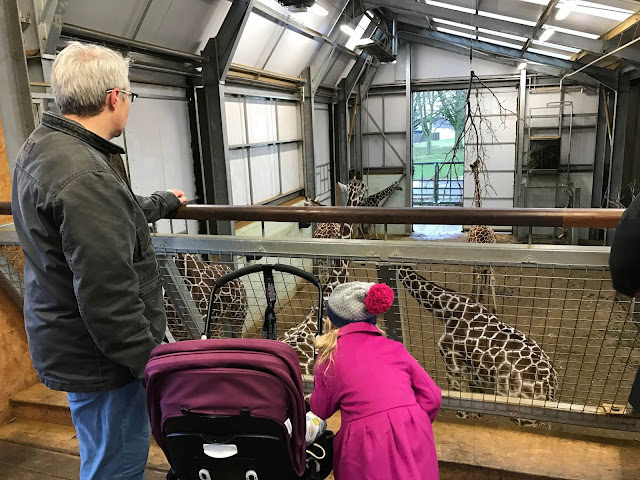 A dad, a pushchair and a young girl in a woolly hat standing on a raised viewing platform and looking out at 5 giraffes hanging out in their house