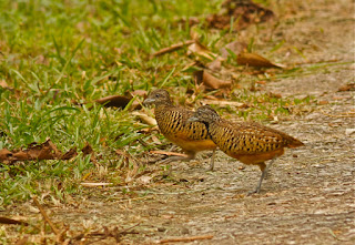 barred buttonquail