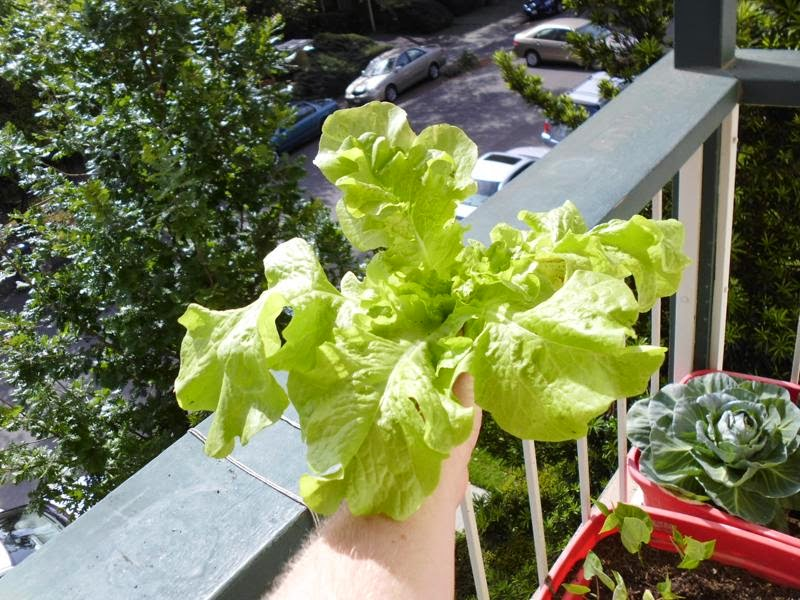 Lettuce harvested for consumption