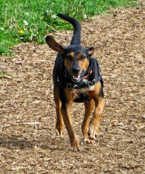 Cinnamon The Traveling Coonhound: NUTRO™ Wild Frontier Dog