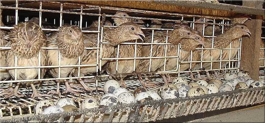 How to Start Poultry Farming in Bangladesh