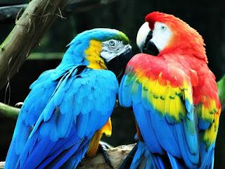 Araras Canindé e Tricolor no Parque Zoológico de Sapucaia