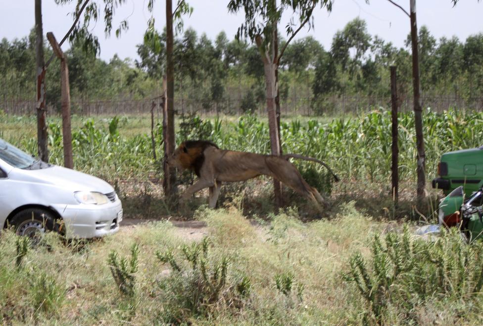 Lion attack - Pakistan Affairs