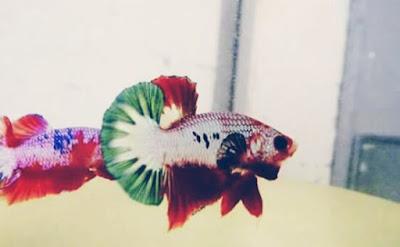 Cara Merawat Ikan Cupang Agar cepat Besar