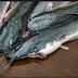 Penyebab & Cara Mengatasi Kembung pada Ikan Lele