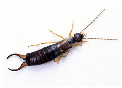 Earwigs Facts, Amazing Animals , Earwigs Amazing Fact