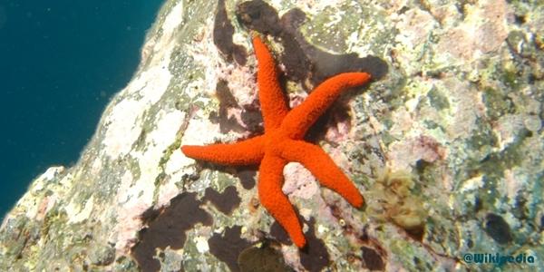 Gambar Bintang laut ordo Spinulosida