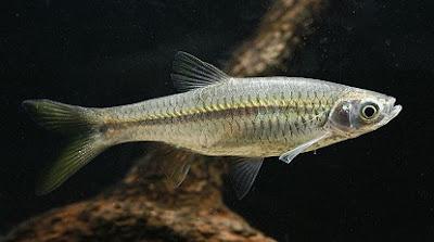 cara budidaya ikan cere di garut,jual ikan cere,