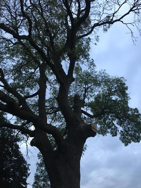 Ash tree being felled
