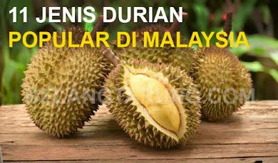 Jenis Jenis Durian Popular Di Malaysia