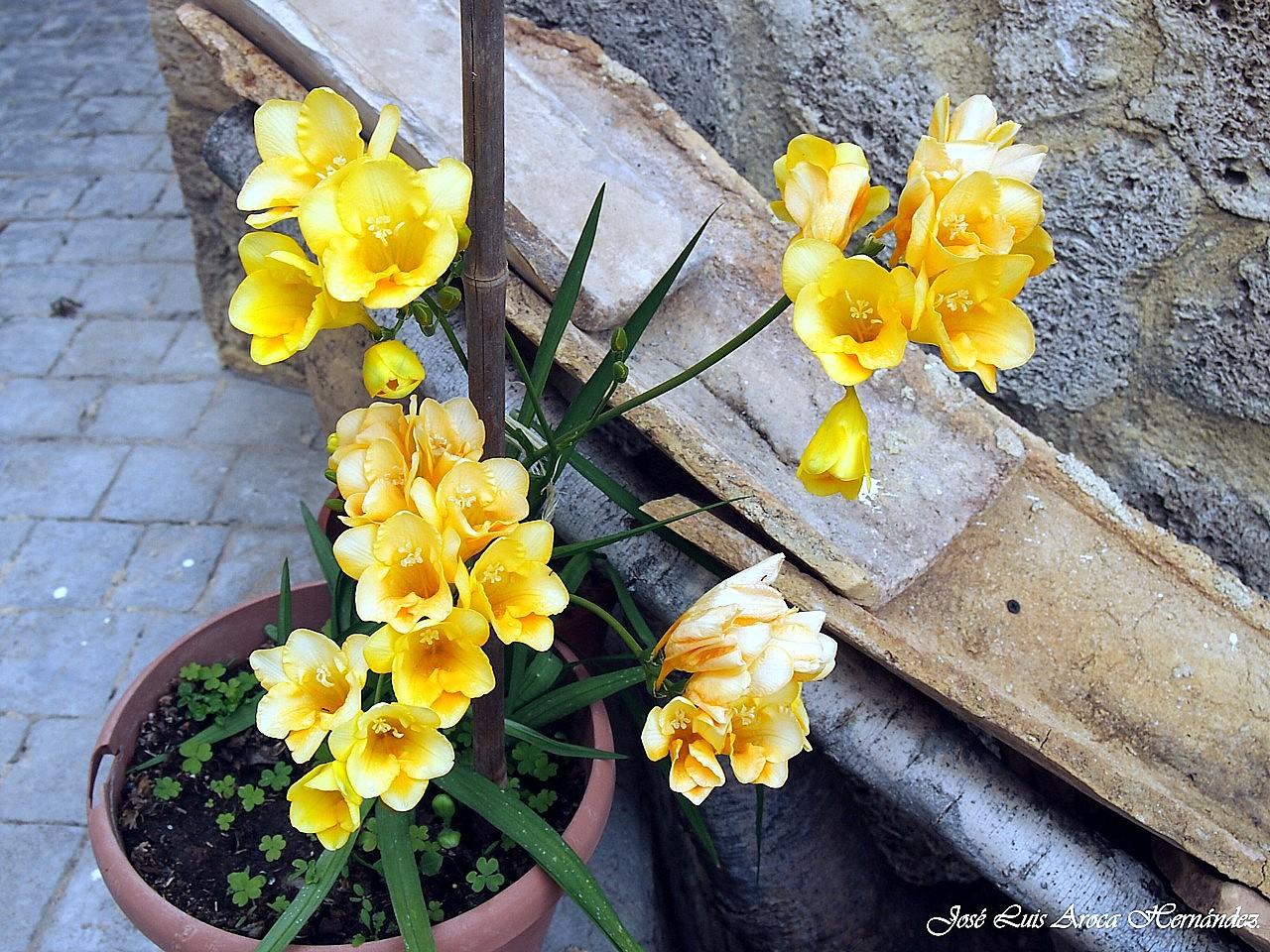 Flores y plantas de nuestros jardines j rica castell n - Hogar y jardin castellon ...