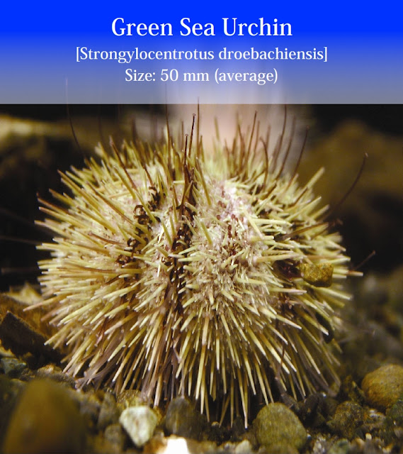 Green Sea Urchin Facts