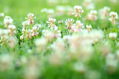 Field of Clover - Spring Photography by Mademoiselle Mermaid