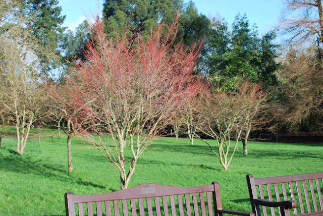picture of a tree with red twigs