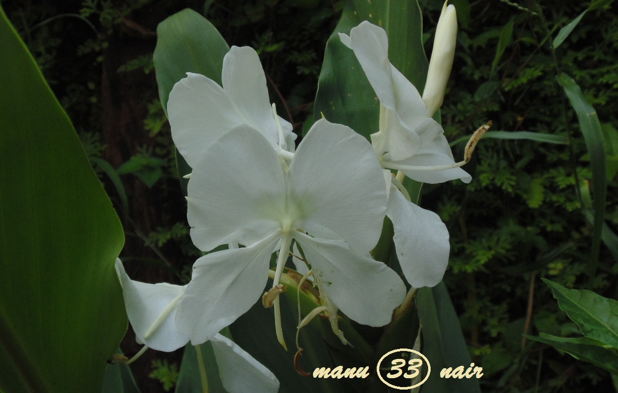 Papanasini White Ginger Lily