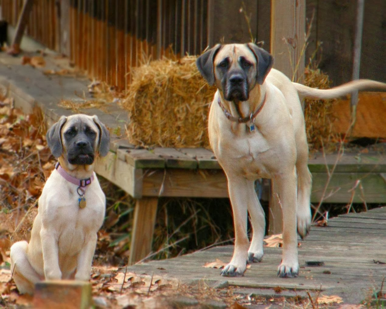 English Mastiff | Wild Life World