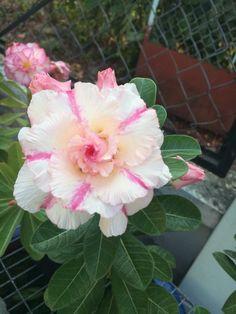 Gambar Bunga Adenium yang Unik dan Cantik 21