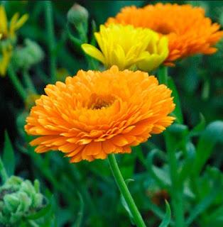 Gambar Bunga Calendula 1
