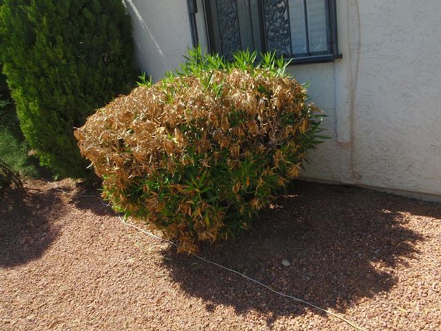 xtremehorticulture of the desert oleander shows signs of. Black Bedroom Furniture Sets. Home Design Ideas