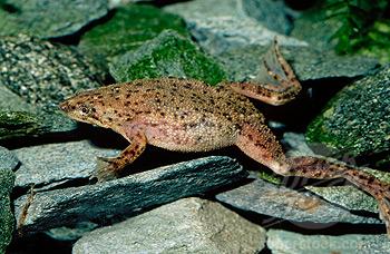 Pregnant African Dwarf Frog 116