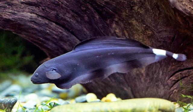 budidaya ikan black ghost