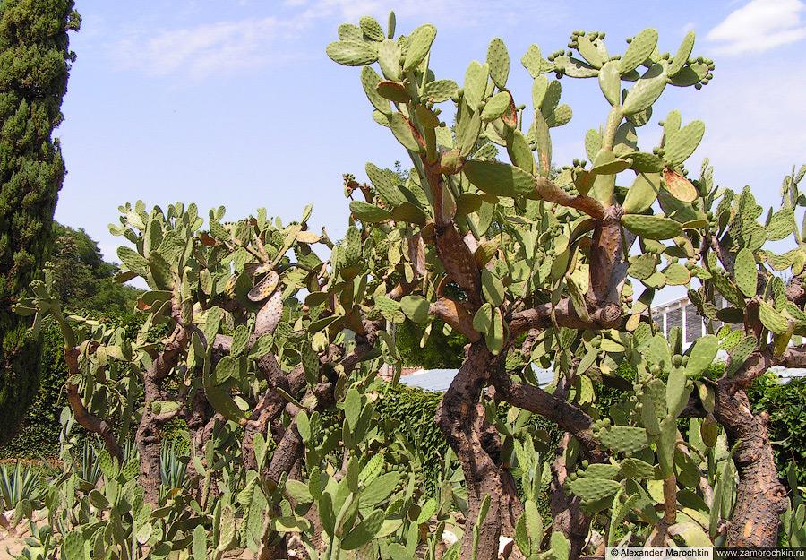 Коллекция кактусов в Ботаническом саду Балчика