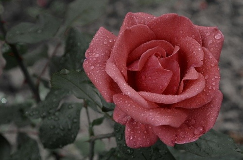 Rosa com gotas de chuva, ao fundo, paisagem escura. #PraCegoVer
