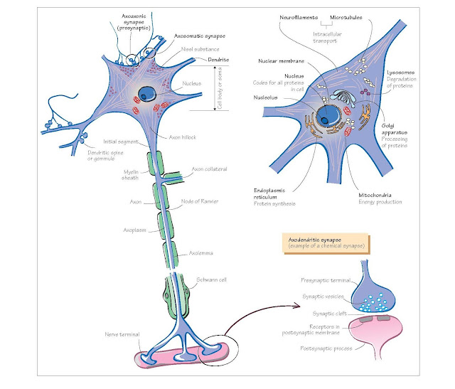 Cells Of The Nervous System I: Neurones