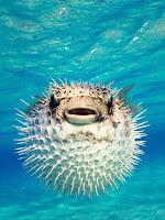 Pufferfish 10