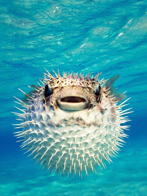 Pufferfish 10