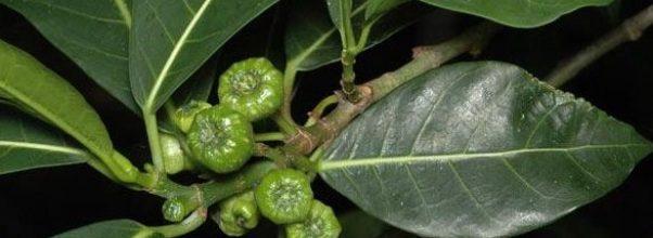 Karakteristik dan manfaat bagian tanaman awar-awar untuk kesehatan