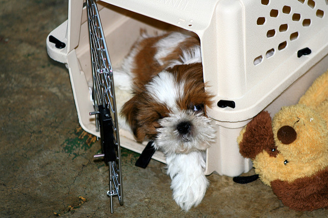 Shih Tzu puppy in a crate