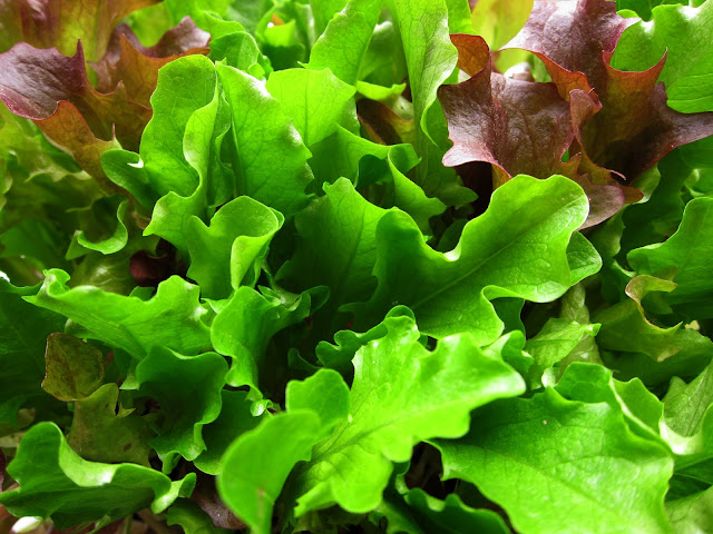Red and green salad leaves tightly packed in supermarket tray.