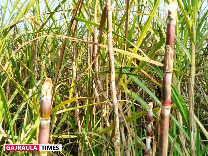 kisan sugarcane field