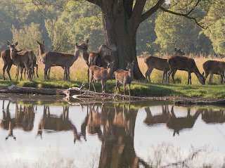 Red Deer Rrelaxed at Richmond Park